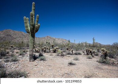 Saguaro and Joshua Tree cactuses in the Arizona Desert