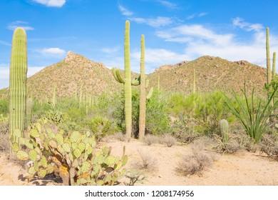 Saguaro National Park in Arizona, USA