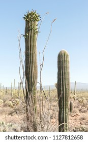 Saguaro National Park is full with Saguaro (Carnegiea gigantea)  arborescent (tree-like) cactus species in the monotypic genus Carnegiea, which can grow to be over 40 feet