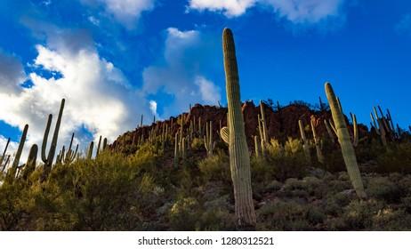Saguaro National Park west of Tucson, Arizona. Beautiful blue sky, white and gray clouds near sunset.