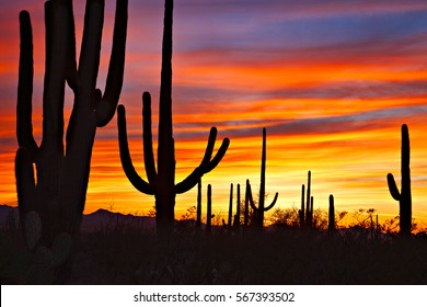 Saguaro silhouettes against red sky at sunset.