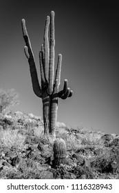 Saguaro in the Sonora Desert