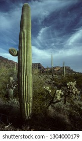 Saguaro in Sonora desert