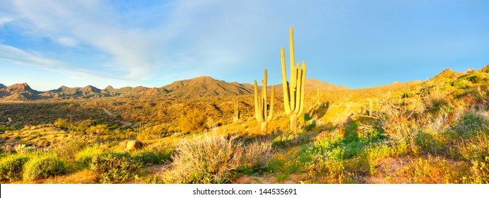 Saguaros and Blooming Desert near Bartlett Lake, bathing in days first light.