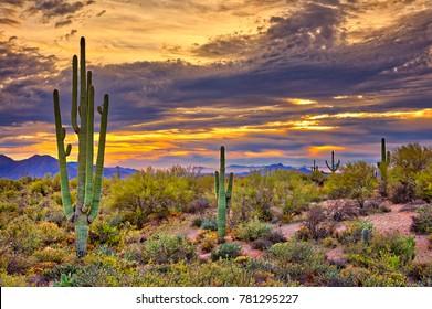 Saguaros in Four Peaks wilderness, near Phoenix.