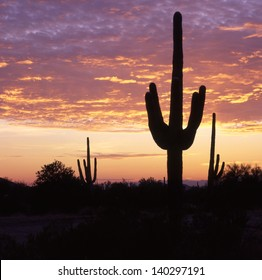 Saguaro's, the giant of all cactus, grows in Arizona and Northern Mexico/Saguaros/In the wild, saguaros are 75 years old before developing an arm. Most live for 200 years and grow 50 feet tall.