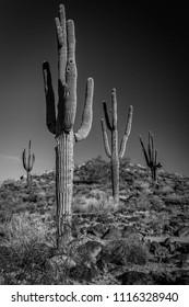 Saguaros in the Sonora Desert