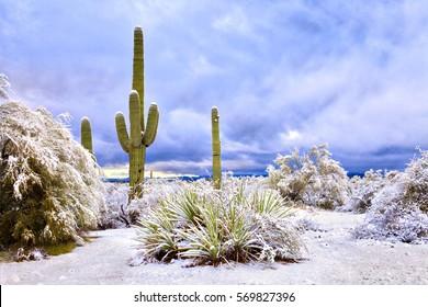 Saguaros in Sonoran Desert after snow storm.
