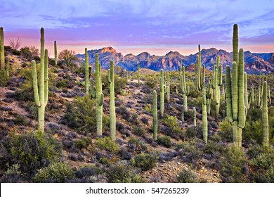 Saguaros at Sunrise near Phoenix.