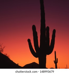 Saguaros, the worlds largest cactus, symbolical of the Southwest part of the US and northern Mexico./Saguaro/Here in the superstition wilderness area, the saguaro grows  in a hot,  mountainous region