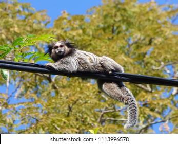 Sagui monkey (Common marmoset) at Rio Vermelho Park in Florianopolis, Brazil