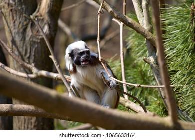 Saguinus oedipus monkey