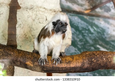 Saguinus oedipus small white hairy monkey on wooden branch, funny face, comical beast