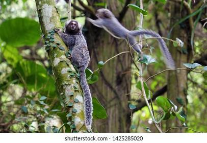 Saguis brazilian monkeys jumps on tree, in trail to Pico do Jaragua mountain in São Paulo, Brazil
