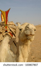 In the Sahara Desert of Mali, Africa, aa camel is saddled up and waiting for his rider, a berber Tuareg nomad