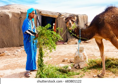 Sahara, Morocco - May 10, 2017: Berber man dressed in traditional moroccan gandoura and touareg feeds his camel with alfalfa in front of his Berber tent in the moroccan Sahara desert.