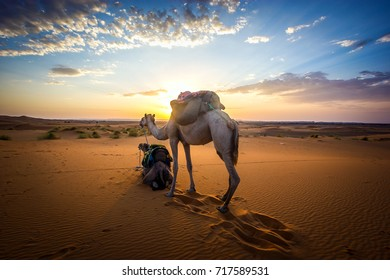 Sahara Sunrise With Camels