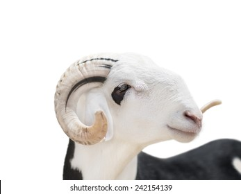 Sahelian Ram with a white and black coat, isolated