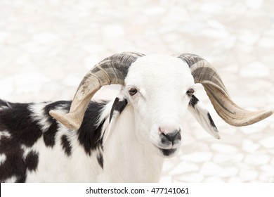 Sahelian Ram with a white and black coat