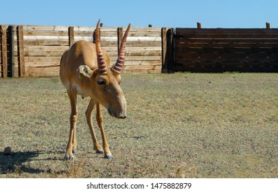 Saiga antelope in Askania Nova Nature Reserve. Saiga antelope in Ukraine.