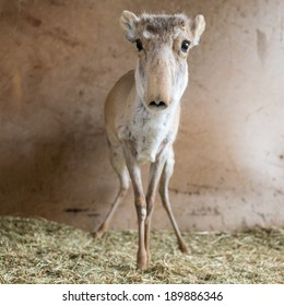 Saiga antelope Dasha in Yashkul nursery