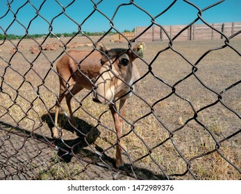 A saiga antelope without horns. Saiga antelope near the fence in Askania Nova Nature Reserve.
