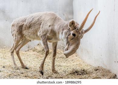 Saiga antelope Yurek in Yashkul nursery
