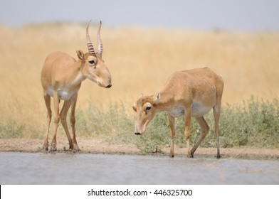 Saiga antelopes (Saiga tatarica) near the watering place in the morning. Federal nature reserve Mekletinskii, Kalmykia, Russia, August, 2015