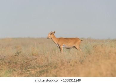 Saiga female. Saiga tatarica is listed in the Red Book, Chyornye Zemli (Black Lands) Nature Reserve, Kalmykia region, Russia.