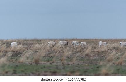 Saiga herd during the rut. Saiga tatarica is listed in the Red Book, Chyornye Zemli (Black Lands) Nature Reserve, Kalmykia region, Russia.