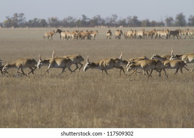 Saiga herd running through the autumn steppe, against his house.