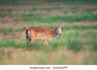 Saiga tatarica is listed in the Red Book, Chyornye Zemli (Black Lands) Nature Reserve, Kalmykia region, Russia.