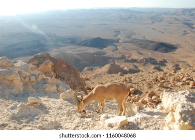 saigas in morning desert