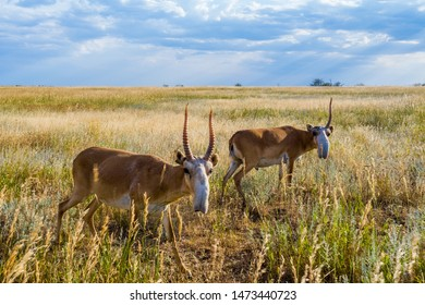 Saigas in the steppes in Russia send you greetings