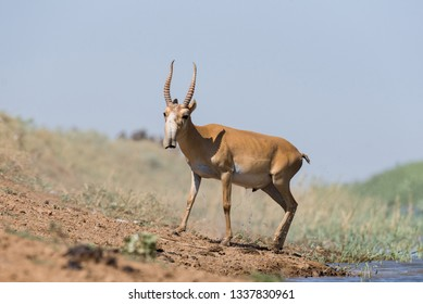 Saigas at a watering place drink water and bathe during strong heat and drought. Saiga tatarica is listed in the Red Book, Chyornye Zemli (Black Lands) Nature Reserve, Kalmykia region, Russia.