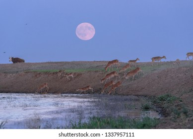 Saigas at a watering place on the background of a rising full moon. Saiga tatarica is listed in the Red Book, Chyornye Zemli (Black Lands) Nature Reserve, Kalmykia region, Russia.