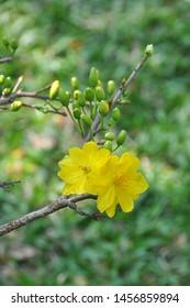 SAIGON, VIETNAM 2015: Spring Festival, apricot blossom for New year