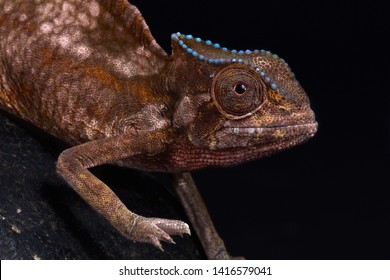Sail Backed Chameleon (Trioceros cristatus)