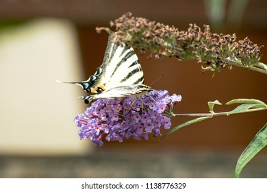 Sailer butterfly on a lilac flower
