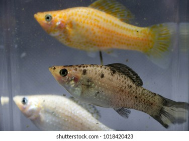 sailfin molly fish, silver orange and striped color in the water glass box. the female is bigger. The ovary is more pronounced. A fish that live and feed on the surface of the water.