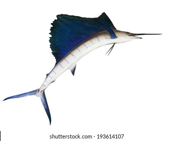 sailfish flying midair isolated white background use for marine ,sea ocean life topic and multipurpose