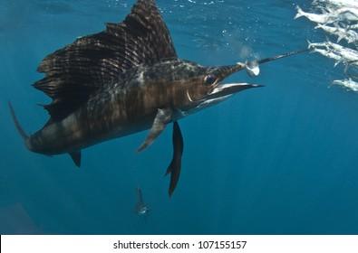 Sailfish on Bait Ball