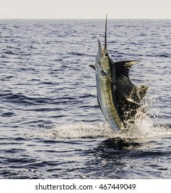 Sailfish on the Line