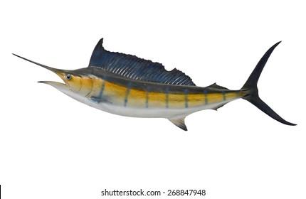 Sailfish saltwater fish (Istiophorus) isolated on white background