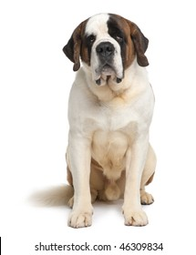 Saint Bernard, 4 years old, sitting in front of white background