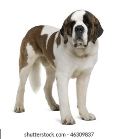 Saint Bernard, 4 years old, standing in front of white background