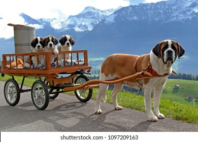 Saint Bernard Dog, female pulling cart with here three puppies on mountain road, swiss alpes in the background.