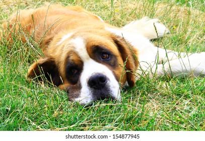 Saint Bernard dog looking at the camera