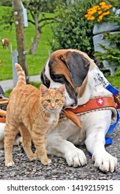 Saint Bernard Dog looking at ignorant ginger tabby Cat.
