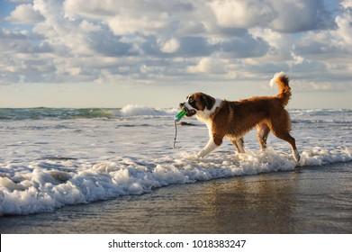 Saint Bernard dog outdoor portrait at beach walking into ocean waves with bumper toy